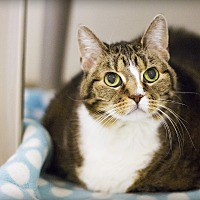 Domestic Shorthair Cat for adoption in Lincoln, Nebraska - Penny