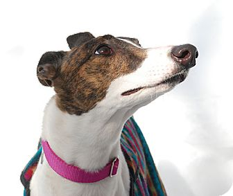 Greyhound Dog for adoption in Ware, Massachusetts - Gorgeous
