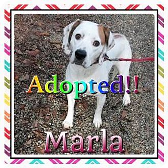 Hound (Unknown Type) Mix Dog for adoption in Kenmore, New York - Marla
