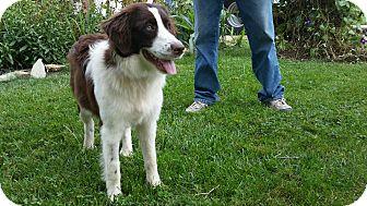 Australian Shepherd Mix Dog for adoption in New Oxford, Pennsylvania - Bindi