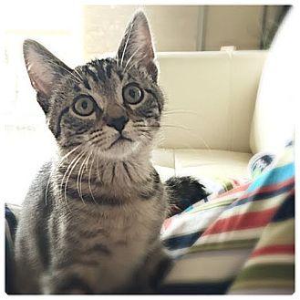 Domestic Shorthair Kitten for adoption in Plymouth, Minnesota - Pez