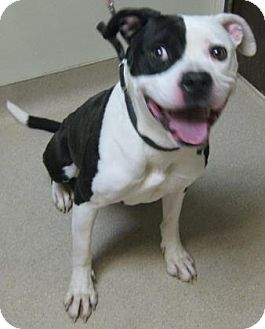 Pit Bull Terrier Mix Puppy for adoption in Gary, Indiana - Macy