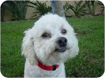 Bichon Frise Mix Dog for adoption in La Costa, California - Chester