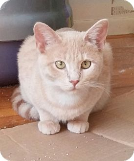 Domestic Shorthair Kitten for adoption in Saint Clair Shores, Michigan - Dixie