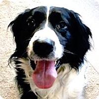 Adopt A Pet :: Scout - Minneapolis, MN