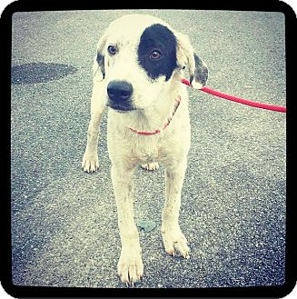 Border Collie Mix Dog for adoption in Grand Bay, Alabama - Cosmo ( Punch )