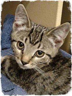 Domestic Shorthair Kitten for adoption in Pueblo West, Colorado - Dax