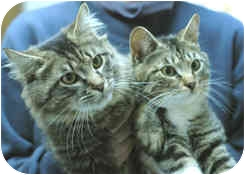 Domestic Shorthair Cat for adoption in Milton, Massachusetts - Chewie and Yoda