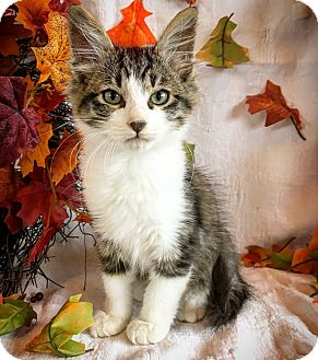 Domestic Mediumhair Kitten for adoption in Fredericksburg, Texas - Knox