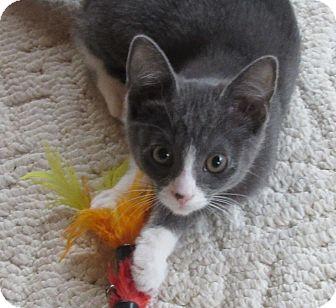 Domestic Shorthair Kitten for adoption in Glenwood, Minnesota - Ragay