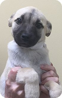 """Australian Shepherd/Boxer Mix Puppy for adoption in Oswego, Illinois - I'M ADOPTED Adorables """"Alli"""""""