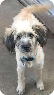 Saluki/Wheaten Terrier Mix Dog for adoption in Bedminster, New Jersey - Wendover - MEET ME