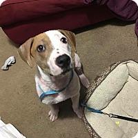 Adopt A Pet :: Pickles - Austin, TX