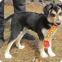 Adopt A Pet :: Nysa's Puppy Lil Boss - Murrells Inlet, SC