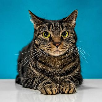 Domestic Shorthair Cat for adoption in Chandler, Arizona - KC