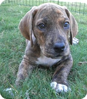 Great Dane/Basset Hound Mix Puppy for adoption in Pipe Creed, Texas - Basil's babies