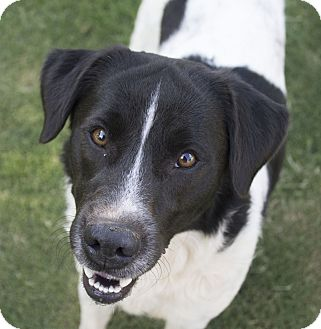 Border Collie/Great Pyrenees Mix Dog for adoption in Stillwater, Oklahoma - Brit