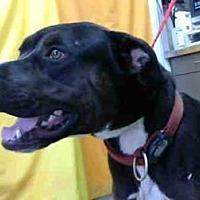 Adopt A Pet :: Gretzky Meyer - Seattle, WA