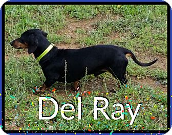 Dachshund Dog for adoption in Green Cove Springs, Florida - Del Ray