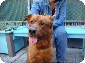 Retriever (Unknown Type)/Chow Chow Mix Dog for adoption in Long Beach, New York - Rusty Red