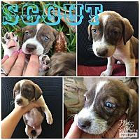 Adopt A Pet :: Scout - Smithtown, NY