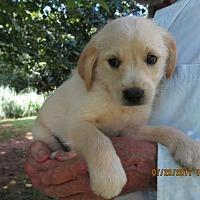 Adopt A Pet :: REYNARD - Lincolndale, NY