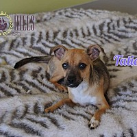 Chihuahua Mix Puppy for adoption in Agoura Hills, California - Tatiana