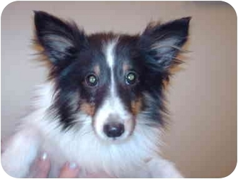 Sheltie, Shetland Sheepdog Dog for adoption in Clay City, Indiana - Red