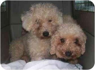 Bichon Frise/Pekingese Mix Dog for adoption in Oak Ridge, New Jersey - PUPPYMILL RESCUES