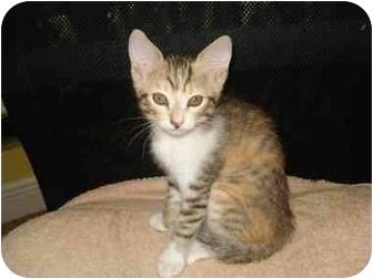 Domestic Shorthair Kitten for adoption in Boca Raton, Florida - kitten