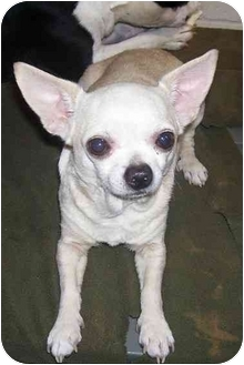 Chihuahua Dog for adoption in Osceola, Arkansas - Odie