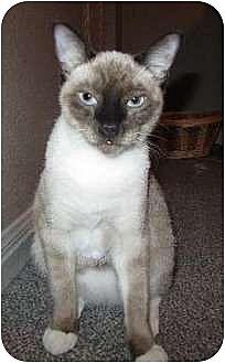 Siamese Cat for adoption in Austin, Texas - Skippy