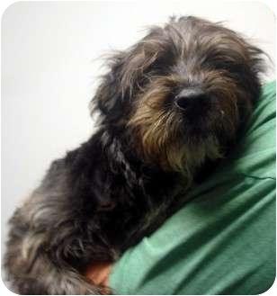 Schnauzer (Standard)/Airedale Terrier Mix Dog for adoption in Manassas, Virginia - Dream weaver