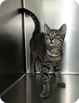Domestic Shorthair Cat for adoption in Farmingdale, New York - Opal