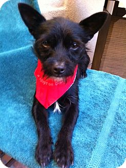 Affenpinscher/Border Terrier Mix Puppy for adoption in El Cajon, California - LeRoy