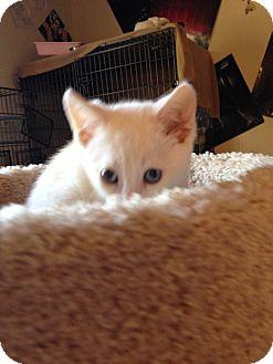 Colorpoint Shorthair Kitten for adoption in Fountain Hills, Arizona - BLITZ