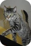Domestic Shorthair Cat for adoption in Oak Park, Illinois - Azazel