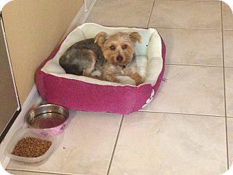 Skye Terrier Dog for adoption in Brea, California - Dodger