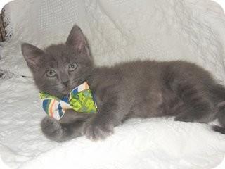 Domestic Shorthair Kitten for adoption in Marietta, Georgia - Dusty Bottoms
