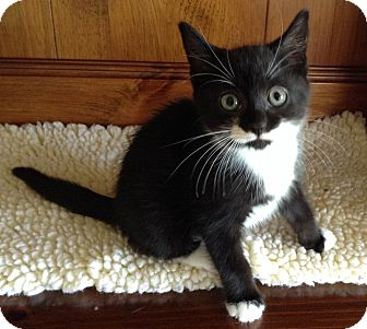 Domestic Shorthair Kitten for adoption in Brimfield, Massachusetts - Louise