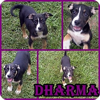 Retriever (Unknown Type)/Hound (Unknown Type) Mix Puppy for adoption in Palm Harbor, Florida - Dharma