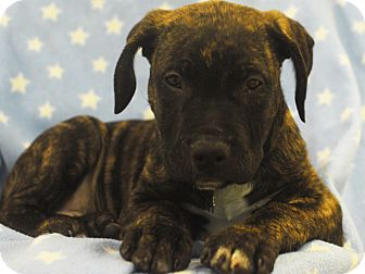 Shepherd (Unknown Type)/Rottweiler Mix Puppy for adoption in Detroit, Michigan - Shining-Adopted!