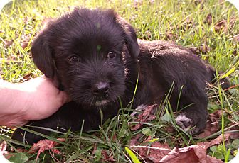 Standard Schnauzer/Labrador Retriever Mix Puppy for adoption in Starkville, Mississippi - Claire