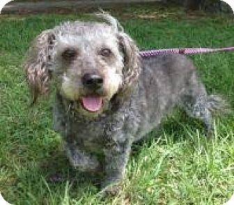 Poodle (Miniature) Mix Dog for adoption in Kingwood, Texas - Sassy