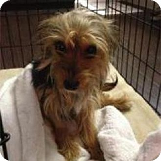 Yorkie, Yorkshire Terrier Puppy for adoption in Leesburg, Florida - Ralphie