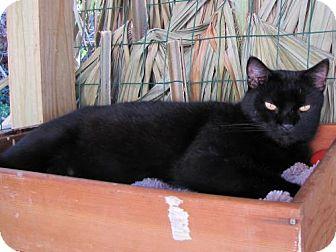 Bombay Cat for adoption in Port St. Joe, Florida - Hoot