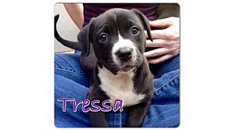 Border Collie/Labrador Retriever Mix Puppy for adoption in Baton Rouge, Louisiana - Tressa