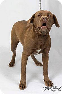 Labrador Retriever/Pit Bull Terrier Mix Dog for adoption in Worland, Wyoming - Cocoa