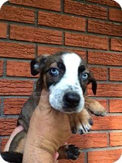 Hound (Unknown Type) Mix Puppy for adoption in ST LOUIS, Missouri - Gessie