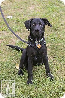 Labrador Retriever/Hound (Unknown Type) Mix Puppy for adoption in Baltimore, Maryland - Bryson